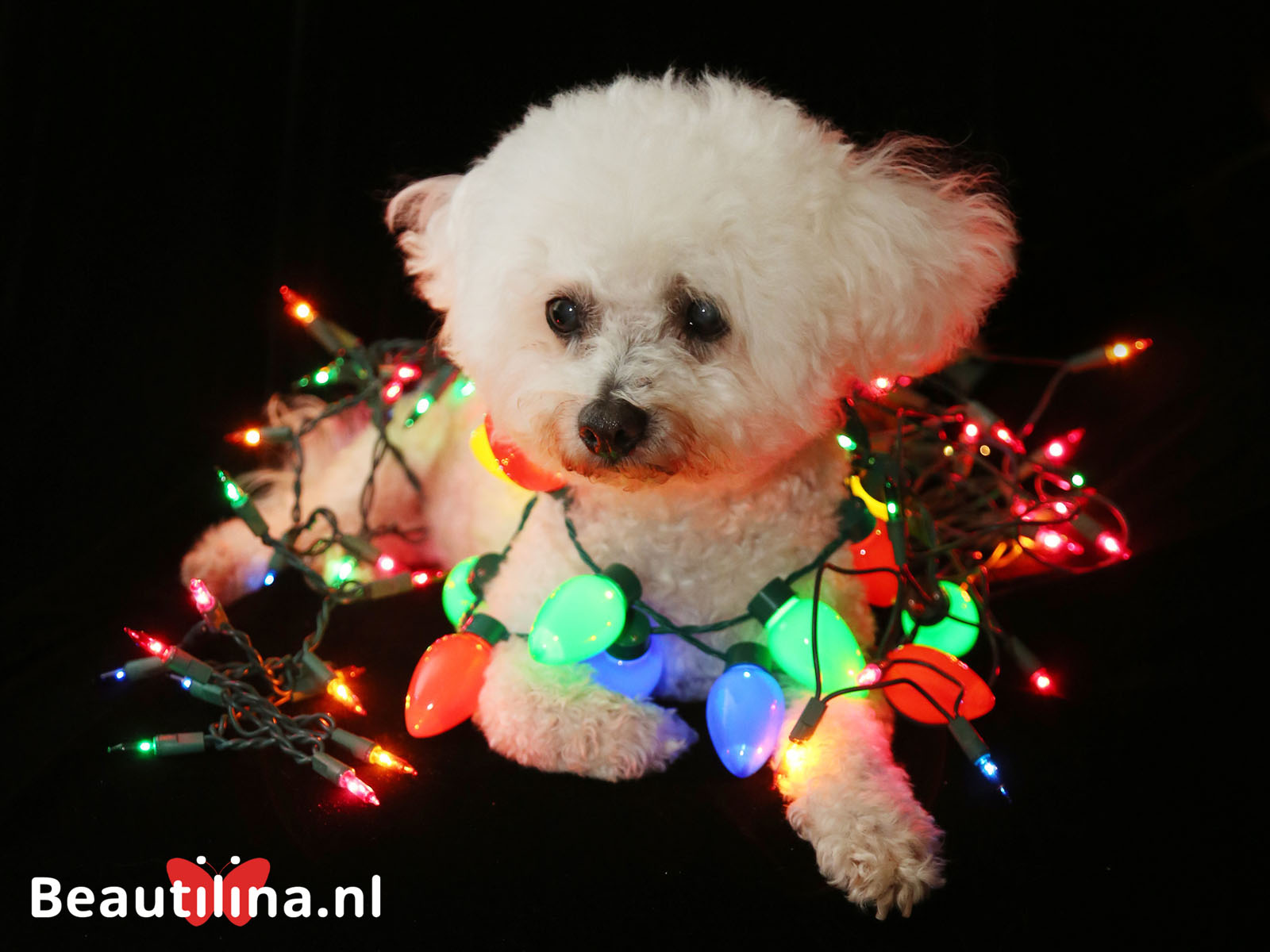 https://www.beautilina.nl/wp-content/uploads/bigstock-A-beautiful-Bichon-Frise-Dog-s-170004407-1600-x-1200.jpg